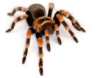 ArachnidaSpider