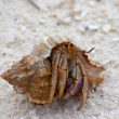 Proper care for a Hermit Crab