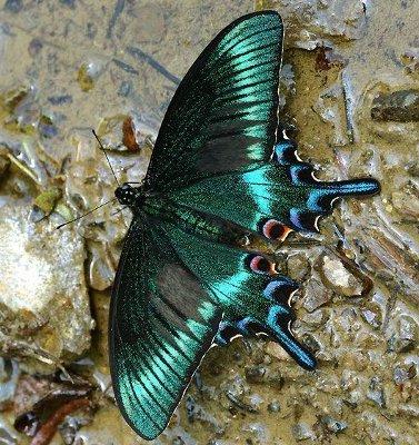 alpine black swallowtail butterfly knowledge base lookseek com