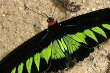 Rajah brookes Birdwing Butterfly