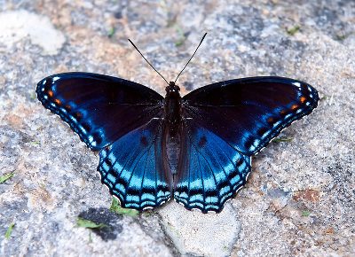 Red spotted Purple Butterfly - Knowledge Base LookSeek com