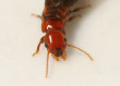 Dry Wood Termite