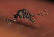 Mansonia Mosquito