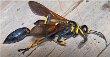 Mud Wasp