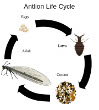 The Life of an Antlion from Larva to Adult