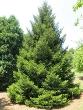 Oriental Spruce Tree