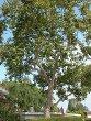 California Sycamore Tree