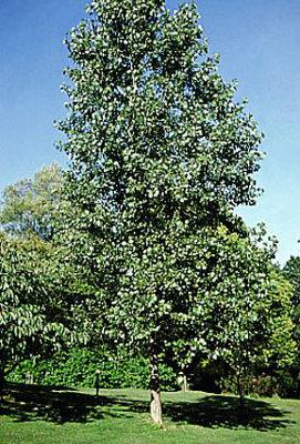 Hybrid Poplar Tree Hybrid Poplar Tree - K...