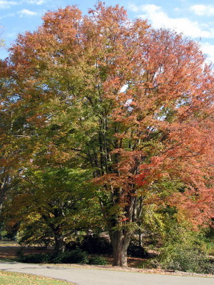 Japanese Zelkova Tree Knowledge Base Lookseek