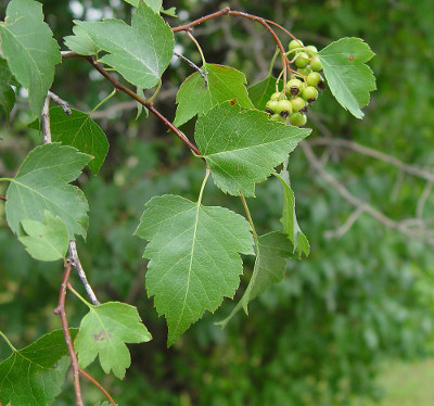 Facts About Washington Hawthorn Tree Scientific Name For Is Crataegus Phaenopyrum A Variety Of