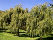 Weeping Willow Tree