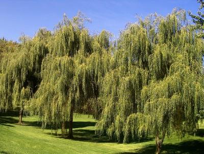 Weeping Willow Tree Knowledge Base Lookseek Com