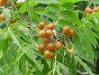 Western Soapberry Tree