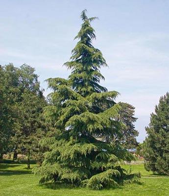 Deodar Cedar Tree (Cedrus deodara) - Knowledge Base LookSeek.com