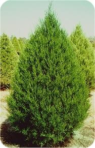 Common Christmas Tree Types