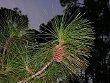 Slash Pine (Pinus elliottii)