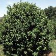 Arbor Day Hazelnut Tree (Corylus sp)