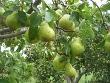 Bartlett Peach Tree (Pyrus communis)