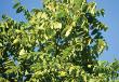 Butternut Tree (White Walnut) (Juglans cinerea)