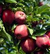 Early Harvest Apple Tree (Malus x domestica)