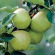 Lodi Apple Tree (Maus X domestica)