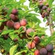 Methley Plum (Prunus salicina)