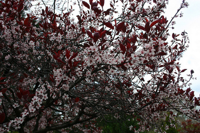 The Purple Leaf Sand Cherry Tree Has A Lot Of Botanical Significance It Is Scientifically Known As Prunus X Cistena And Clified Member