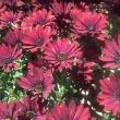 Cape Daisy Plant
