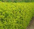 North Privet Hedge
