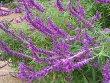 Salvia Leucantha Plant