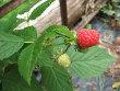 September Everbearing Raspberry Plant