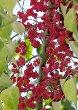 Winterberry Plant