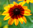 Gloriosa Daisy-Black-Eyed Susan
