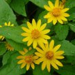 Melampodium Plant