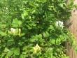 Lonicera Periclymenum-Plant