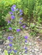 Vipers Bugloss Plant