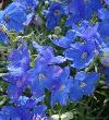 Delphinium Flower Plant