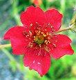 Geum Chiloense Plant