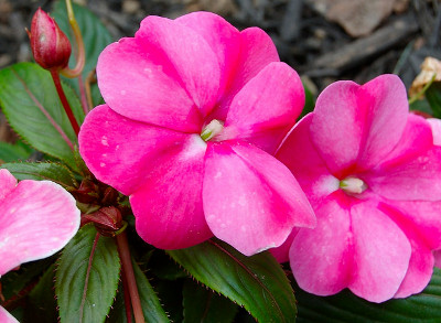 Impatiens flower plant knowledge base lookseek impatiens flower plant is usually used as summer bedding plant the impatiens flower plant is also known by the name busy lizzie mightylinksfo