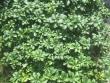 Pachysandra Plant