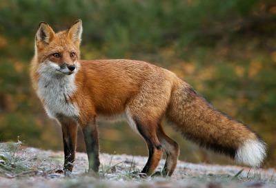 une renard rouge