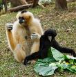 Hoolock Gibbon Ape