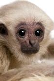Pileated Gibbon Ape