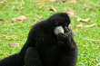 White Cheeked Gibbon