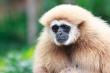 White-Handed Gibbon Ape
