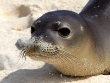 Meditrerranean Monk Seal