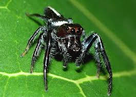 Biting Jumping Spider - Knowledge Base LookSeek com