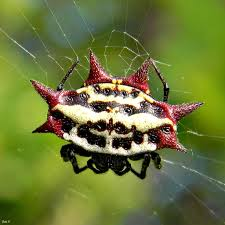 Facts About Jewelled Spiders Scientific Name For Spider Is Gasteracantha Cancriformis The Has A Number Of Other Names Such As