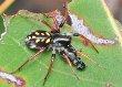 Spotted Ground Spider