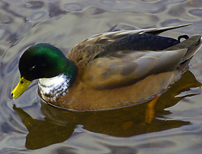 Image result for does a duck have three eyelids